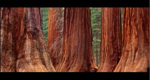 redwood_2